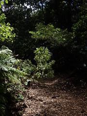 Phyllis nobla (L'herbier en photos) Tags: rubiacées rubiaceae phyllis nobla capitana montañas laguna anaga ténériffe canaries espagne tenerife canarias españa pa1203 ecoid787