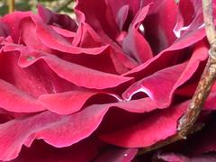 Red details!!  P1080180 (amalia_mar) Tags: reddetails rose red flower flora fiori fleur garden redmonday nature colorfulnature sundaylights wednesdaymacro