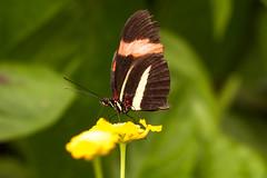 Papillon (clamar18) Tags: butterffly insecte france papillon heliconius melpomene noir rouge vannes