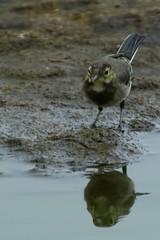 DSC06401 - Juvenile Pied Wagtail (steve R J) Tags: juvenile pied wagtail blue house farm ewt reserve north fambridge essex birds british reflection