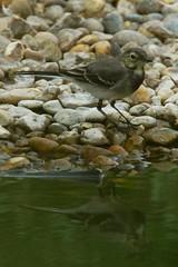 DSC06398 - Juvenile Pied Wagtail (steve R J) Tags: juvenile pied wagtail blue house farm ewt reserve north fambridge essex birds british reflection