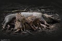 Frischlinge an der Milchbar (Doris Lucas) Tags: wildparkweilburg tierparkweilburg frischlinge wildschwein dorislucas waldsolms