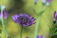 Great Masterwort (abrideu) Tags: abrideu canoneos100d greatmasterwort macro flower depthoffield bright bokeh bouquet ngc