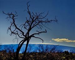 Mauna Loa, Hawaii (klauslang99) Tags: klauslang mauna loa hawaii shield volcano tree nature landscape