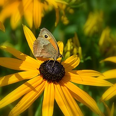 Summer Sunshine (Eleanor (New account))) Tags: flower butterfly meadowbrownbutterfly rudbeckia yellowflower nikond7100 july2019 goldershillpark london