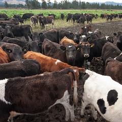Heifers #1 (johnstewartnz) Tags: canon canonapsh apsh eos 1dmarkiii 1d3 1dmark3 1d 1dmkiii 1dmk3 1diii canoneos1dmkiii 1740mm 1740 ef1740mmf4lusm dairycows heifers farmanimals friendlyanimals mud