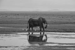Elephant Reflection (Leon Sammartino) Tags: amboseli kenya ele elephant telephoto xmount africa east national park nairobi reflection fine art monochrome savanah field grass lake pond tusk xt3 fujifilm