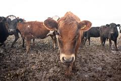 Heifers #3 (johnstewartnz) Tags: canon canonapsh apsh eos 1dmarkiii 1d3 1dmark3 1d 1dmkiii 1dmk3 1diii canoneos1dmkiii 1740mm 1740 ef1740mmf4lusm dairycows heifers farmanimals friendlyanimals mud