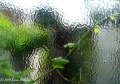 August 9th, 2019 Triffid at the bathroom window (karenblakeman) Tags: cavershamgarden caversham uk grapevine window august 2019 2019pad reading berkshire