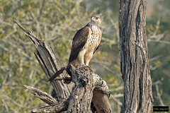 African Hawk Eagle (Aquila spilogaster) (Dave 2x) Tags: aquilaspilogaster aquila spilogaster africanhawkeagle african hawk eagle mkhuzegamereserve mkhuze southafrica immature leastconcern