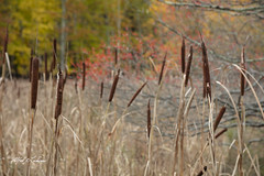 Sieur de Monts_27A8065 (Alfred J. Lockwood Photography) Tags: maine acadianationalpark landscape autumn grasses cattails flora morning sieurdemonts alfredjlockwood nature afternoon fallfoliage fallcolor