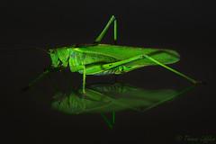 great green bush cricket (funtor) Tags: green nature insect garden animal macro color detail reflection