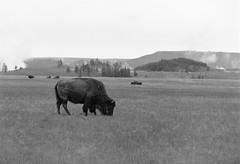 More Bison (LarsHolte) Tags: pentax 645 pentax645 645n 6x45 smcpentaxfa 200mm f40 120 film 120film analog analogue kosmo foto mono 100iso caffenolc mediumformat blackandwhite classicblackwhite bw monochrome filmforever filmphotography ishootfilm larsholte homeprocessing usa yellowstone nationalpark wyoming landscape bison explored