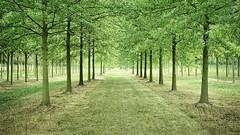 Treefarming 2 - A Sea of Green (Bernd Walz) Tags: trees tree treefarm countryside rural agriculture transformedlandscape artificiallandscape newtopographics field fields brandenburg landscape