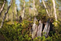 Tree stump in the forrest (bholmbom81) Tags: old trees tree nature forest bokeh stump bjornholmbom björnholmbom