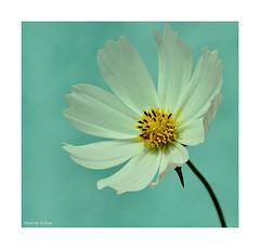 White Cosmos (Graham Pym On/Off) Tags: flora flower cosmos white d7100 devon nikon petals pollen stigma sigma105mm macro coth5 coth