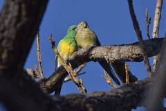 Red-rumped Parrots (Luke6876) Tags: redrumpedparrot parrot parrots bird animal wildlife australianwildlife nature