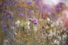 Wild and Twisty... (KissThePixel) Tags: lensbaby lensbabytwist lensbabytwist60 60mm f25 bokeh twisty twist macro macromonday flickr nikon nikondf twistybokeh meacow meadow summermeadow wildflowers sunlight light beautiful