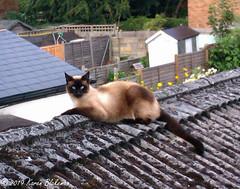 August 11th, 2019 Another trespasser (karenblakeman) Tags: cavershamgarden caversham uk cat roof oriental august 2019 2019pad reading berkshire