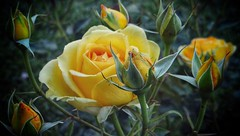 Yellow roses in the garden. (habanera19) Tags: cataluña amarillo barcelona españa beautiful primavera garden magro pink roses yellow green contryside city nature flowwer outside coth5 national colors