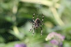 Spider [+1 inside] (CarloAlessioCozzolino) Tags: macro nature animal spider natura animale ragno ragnatela portodadda cornatedadda spiderweb argiope aracnide