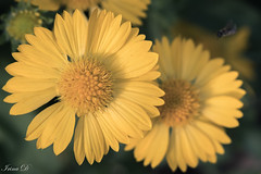 For a Happy Monday and new week (Irina1010) Tags: flowers yellow light bokeh nature canon coth5 ngc npc