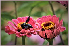 Beetle on zinnias (Ioan BACIVAROV Photography) Tags: natura nature flower flowers summer insect bee beetle zinnia