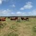 Cows at Mên-an-Tol, Cornwall
