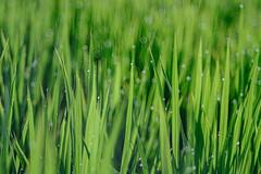 DSCF1889 Rice Field (Keishi Etoh rough-and-ready photoglaph) Tags: fujifilm xh1 fujifilmxh1 apsc fujinon55mmf22 fuji 825mm mf manualfocuslens primelens fixedfocallengthlens oldlens m42 単焦点 中望遠