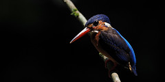 Blue-eared Kingfisher (ChongBT) Tags: nature natural wild life wildlife animal bird ornithology watching birdwatching malaysia olympus alcedo meninting kingfisher blue eared perching harsh lighting black background