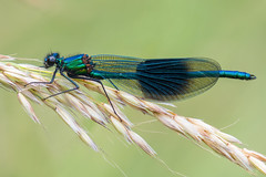 Banded Demoiselle........ (flicks pix1946) Tags: bandeddemoiselle calopteryxsplendens damselfly male wildlife nature summer cloudy insect grass seedheads green blue brown turquoise yellow beige black white olympus omd em1mkll 100400mm panasonic leica totonfieldsnaturereserve nottingham klythawk flickspix1946