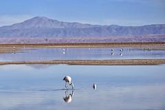 Laguna Chaxa (RobertLx) Tags: laguna lagoon chaxa salardeatacama desert atacama chile america water lake flamingo nature latinamerica