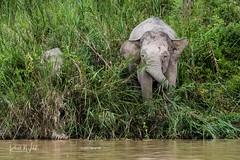 Highly Endangered Pygmy Elephant (iamfisheye) Tags: olympus elephant borneoapril2018 camera borneanpygmyelephant kinabatanganriver kit mkii em1 animal