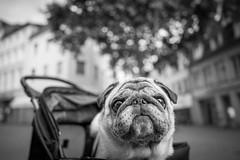 M.i.B Frank the Pug (Black&Light Streetphotographie) Tags: mono monochrome hund dof deepoffield dog urban lichtundschatten lightandshadows tiefenschärfe wow fullframe vollformat sony shadows streetshots streets streetportrait street schwarzweis streetphotographie sw sonya7rii bw blackandwhite blackwhite bokeh bokehlicious blur blurring
