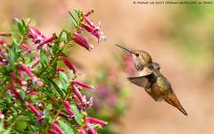 Allen's Hummingbird (20190803-DSC09814-Edit) (Michael.Lee.Pics.NYC) Tags: sanfrancisco botanicalgarden goldengatepark allenshummingbird hummingbird bird bokeh flight hover feeding nectar flower sony a6500 fe100400mmgm 14xtc