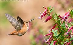Allen's Hummingbird (20190803-DSC09813) (Michael.Lee.Pics.NYC) Tags: sanfrancisco botanicalgarden goldengatepark allenshummingbird hummingbird bird bokeh flight hover feeding nectar flower sony a6500 fe100400mmgm 14xtc