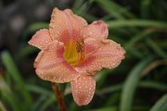 Rain canvas art (GEMLAFOTO) Tags: southsea hemerocallis hémérocalle fleur flower daylily michelgauthier nikond7100