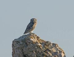 Chouette chevêche (JFB31) Tags: chevêchedathéna athenenoctua littleowl strigiformes strigidés
