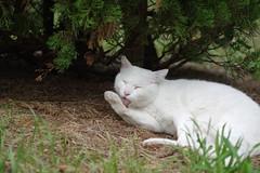 White Cat (Flexible Negativity) Tags: kitten kitty k70 cat caturday nuko pentax whitecat 猫 貓 meow ねこ