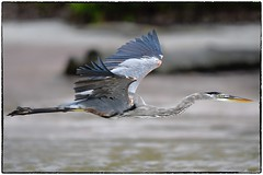 GBH in flight (RKop) Tags: fortdesotostatepark raphaelkopanphotography d500 600mmf4evr florida