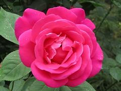 one Chinese rose (VERUSHKA4) Tags: rose flora fleur flower petal greens verdure leaf plant nature beautiful blossom may spring vue view season drop water waterdrops verushka4
