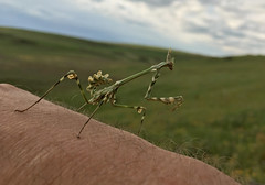 Praying Mantis (cowyeow) Tags: armenia caucuses nature meadow composition macro insect insects holding weird big wildlife mantis prayingmantis
