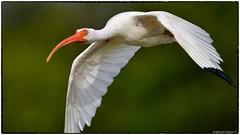 Ibis incoming (RKop) Tags: fortdesotostatepark florida raphaelkopanphotography d500 600mmf4evr