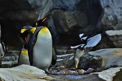 King Penguin (Rackelh) Tags: bird penguin animal king zoo aves calgary ontario canada