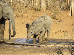baby elephant learning to drink water out of a veld manger in the Kruger National Park (Pixi2011) Tags: elephants krugernationalpark southafrica africa wildlifeafrica wildanimals animals nature