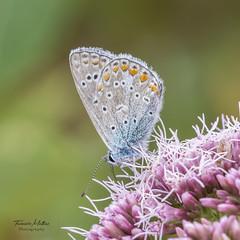 My Friends (mattiasfurniere) Tags: butterfly papillion icarus macro macrophotography macrofotografie macroworld naturephotography natuur nature nikond7100 sigma schmetterling flower