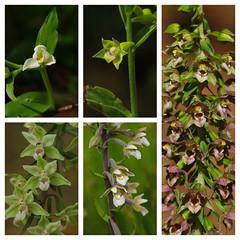 East Kent's Helleborines 2019. (favmark1) Tags: kent orchids helleborines epipactis kentorchids britishorchids wildorchids 2019