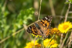 224/365 butterfly / distelvlinder (Eljee-) Tags: rhoon natuur rhoonsebaan 365the2019edition 3652019 day224365 12aug19 sony rx10 rx10m4 ljl leoluijten vlinder butterfly