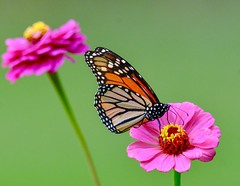 Summer colors. (picturesinmylife_yls) Tags: nature flower butterfly monarch
