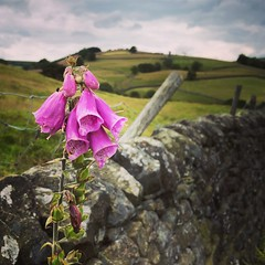 Foxy (vapour trail) Tags: yorkshire england dales countryside foxglove flower plant dry stone wall barbed wire
